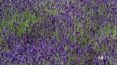 bylinný : Blooming lavender. Close-up view of lavender field Dostupné videozáznamy