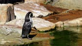 pinguim : Humboldt penguin (Spheniscus humboldti) standing on rocks