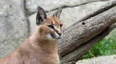 Намибия : Portrait desert cats Caracal (Caracal caracal) or African lynx with long tufted ears