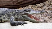 poderoso : Portrait siamese crocodile head and teeth. Close up of siamese crocodile (Crocodylus siamensis)