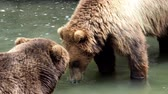 nést : Fight of brown bears on water. Kamchatka bear (Ursus arctos beringianus).