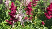 blooming : Pink and red flowers Astilbe Japonica in garden. Bee on flower. Stock Footage
