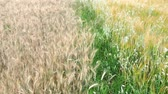 tüske : Wheat field. Golden ears of wheat on the field. Background of ripening ears of meadow wheat field. Rich harvest Concept