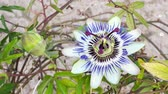 тычинка : Blooming blue Passion Flower. Beautiful Passiflora Caerulea also known as Passion Flower