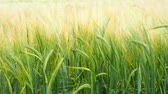 spikelet : Wheat field. Green ears of wheat on the field. Background of ripening ears of meadow wheat field. Rich harvest Concept