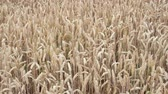 spikelet : Wheat field. Golden ears of wheat on the field. Background of ripening ears of meadow wheat field. Rich harvest Concept