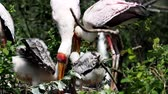 pintos : White stork (mycteria cinerea) feeding chicks. Birds nest. Family mycteria cinerea in the nest. 4k resolution Vídeos
