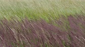 parque eólico : Blooming grasses in a meadow. Wind on the grass.