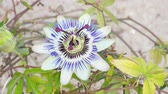 estame : Blooming blue Passion Flower. Beautiful Passiflora Caerulea also known as Passion Flower
