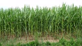milharal : Green field of young corn. Agricultural field of corn. Agricultural crop