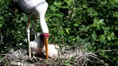 pintos : White stork (mycteria cinerea) feeding chicks. Birds nest. Family mycteria cinerea in the nest. Vídeos
