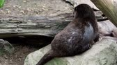 small animal : Asian small clawed otters (Amblonyx cinereus)
