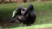 influenzy : Profile of the black swan (Cygnus atratus). Beautiful west australian black swan.