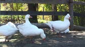 Group of white domestic geese on the farm