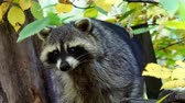zenci amerikalı : Raccoon (Procyon lotor) and autumn leaves in background. Also known as the North American raccoon. Stok Video