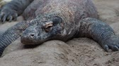 varanus : Komodo dragon, Varanus komodoensis. The largest lizard in the world is resting. Stock Footage