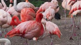 Group of Chilean Flamingos (Phoenicopterus chilensis)