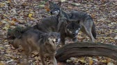 European gray wolves (Canis lupus lupus) is running in the forest. Pack of wolves. Dostupné videozáznamy