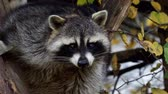 Raccoon (Procyon lotor) and autumn leaves in background. Also known as the North American raccoon. Dostupné videozáznamy