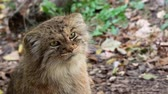 chat sauvage : Le chat de Manul ou Pallas, Otocolobus manul, adorable chat sauvage d'Asie.