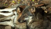 European gray wolves (Canis lupus lupus) lie and rest. Pack of wolves. Dostupné videozáznamy