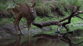 fawn : Roe deer in forest, Capreolus capreolus. Wild roe deer drinking water from the pond