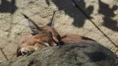 Намибия : Desert cat Caracal (Caracal caracal) or African lynx with long tufted ears
