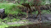 Roe deer in forest, Capreolus capreolus. Wild roe deer drinking water from the pond