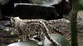 пантеры : Snow leopard with young kittens (Panthera uncia)