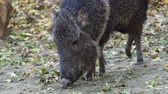 arjantin : Chacoan peccary (Catagonus wagneri) eats leaves Stok Video
