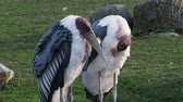 kel : Marabou Stork (Leptoptilos crumeniferus) is a large wading bird in the stork family Ciconiidae. Stok Video