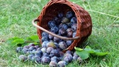 ameixa : Plum harvest. Plums in a wicker basket on the grass. Harvesting fruit from the garden Stock Footage