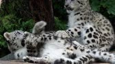 пантеры : Snow leopard cub (Panthera uncia). Young snow leopard playing. Стоковые видеозаписи