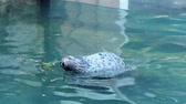 водянистый : Harbor Seal (Phoca vitulina) with his head above blue water