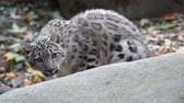 пантеры : Kitten of snow leopard - Irbis (Panthera uncia) lurks behind the stone Стоковые видеозаписи