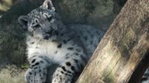 пантеры : Kitten of snow leopard - Irbis (Panthera uncia) watches the neighborhood.