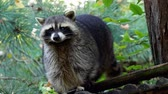 kafa : Raccoon (Procyon lotor) and trees in background. Also known as the North American raccoon.
