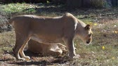 азиатский : Asiatic lioness (Panthera leo persica). A critically endangered species.