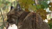кошка : Eurasian Lynx and autumn leaves in background (scientific name Lynx lynx)