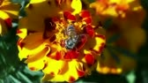 background : Honey bee riding a red yellow flower closeup.