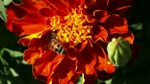 нектар : Honey bee riding a red yellow flower closeup.