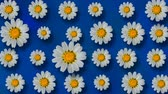 százszorszép : Floral pattern of white chamomile flowers on dark blue background. Stock mozgókép