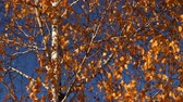 Autumn. Birch tree in the wind on blue sky background