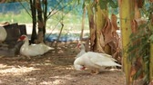 cackle : White ducks cleaning feathers Stock Footage