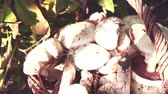 грибы : white champignon mushrooms harvest. many champignon mushrooms Стоковые видеозаписи