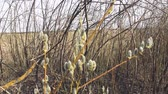 Willow Flower Flowering in Spring Pollen Catkin Bud Branch in South Dakota