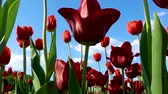 escarlate : A lot of red tulips trembled in the sky with white clouds.