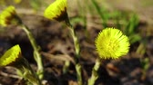 güneş : The first yellow, spring flowers swaying in the spring wind bright Sunny day.