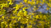 çiçekli : A branch of Forsythia with small yellow flowers flutters in light spring wind on a bright Sunny day.