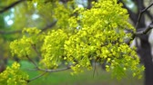 ботаника : A branch of green maple sways in the light spring wind on a clear day. Стоковые видеозаписи